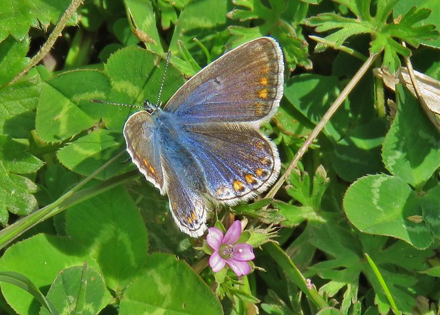 Common Blue Butterly