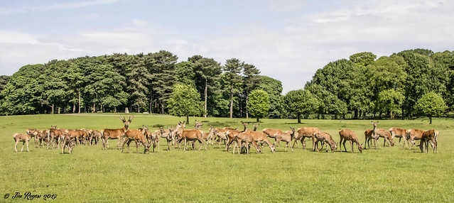 Red Deer Herd at Tatton Park.