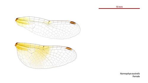 taxonomy:order=odonata wings hindwing taxonomy:binomial=nannophyaaustralis geo:country=australia australia forewing australianpygmyfly taxonomy:family=libellulidae australianmuseum dragonfly nannophya australis libellulidae nannophyaaustralis odonata anisoptera