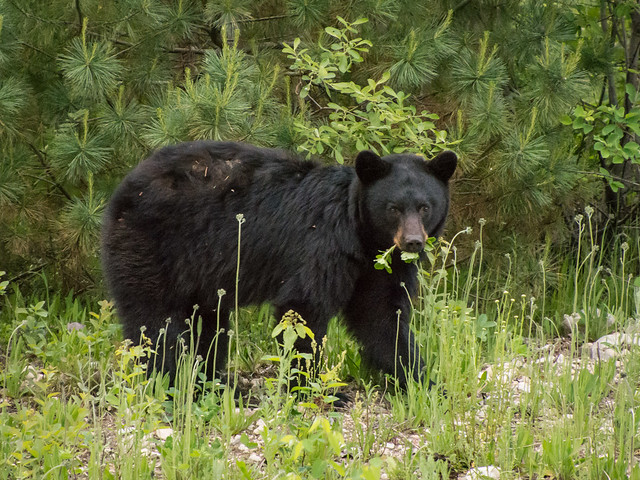 black bear eating weeds