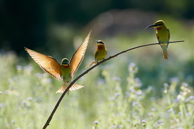 逆光降落下的金門栗喉蜂虎 (Blue-tailed Bee-eater)