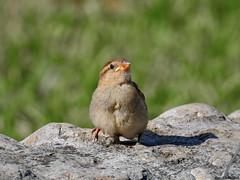 House sparrow, juvenile