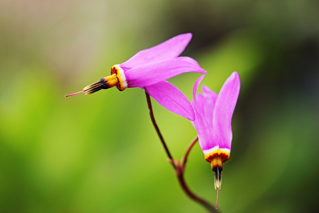 Les colibris. / Hummingbirds.