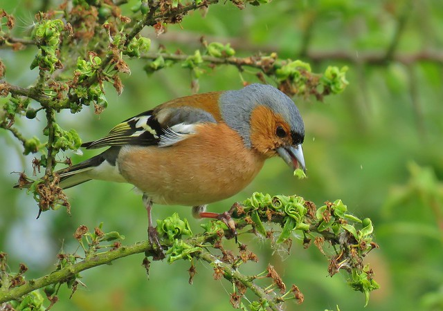 Male Chaffinch at RSPB Minsmere