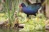 Purple Gallinule by rickdunlap2
