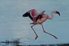 Lesser flamingo (Phoeniconaias minor) landing by Duncan Wallace
