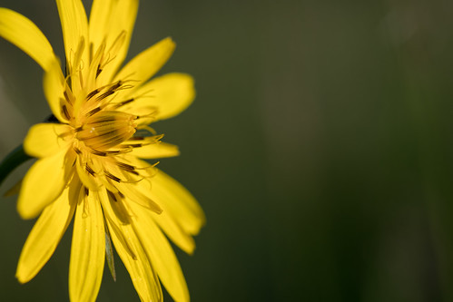 Bocksbart (Tragopogon sp.)