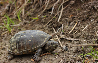 Musk turtle (Sternotherus odoratus) | by phl_with_a_camera1
