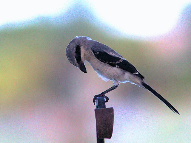Loggerhead Shrike 02-20170615