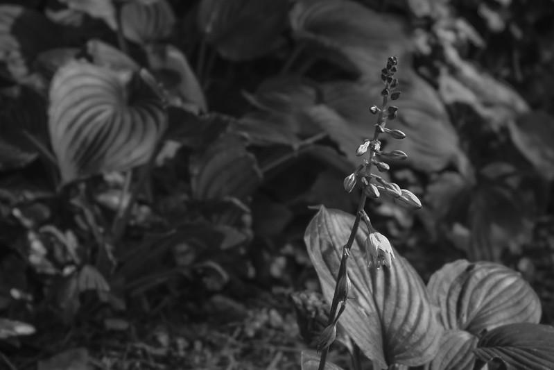 hostas, blossoms, leaves, yard, Asheville, NC, Nikon D3300, Mamiya Sekor 45mm f-2.8, 6.24.17