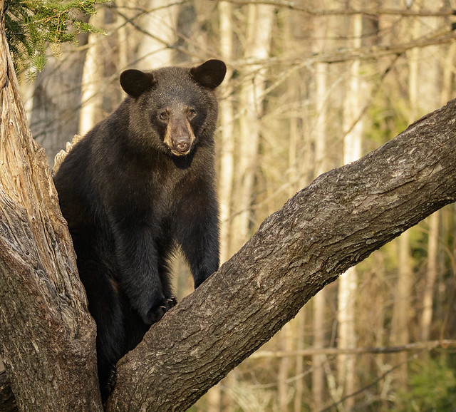 Black Bear_6523_05-15-17_MN_resized