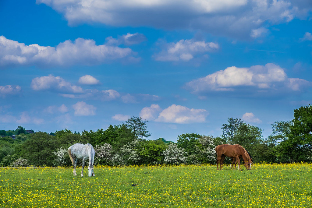 Horses Grazing in Woodgate Valley Country Park