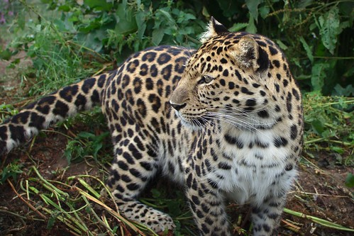 Amur Leopard | by FurLined