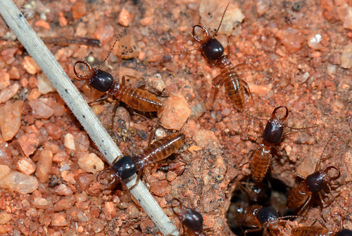Termites from Yalgoo | by jeans_Photos
