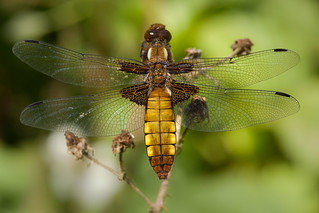 Broad-bodied Chaser ♀