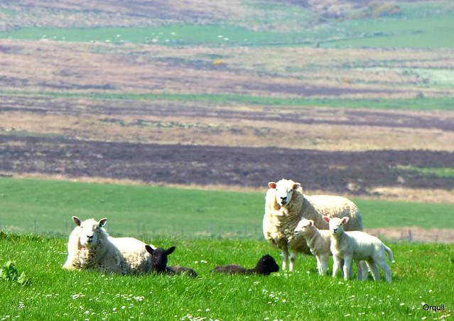 Sheep And Lambs Near Kirbister Loch