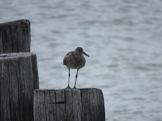 Eastern Willet | by Justin Lee (NoNameKey)