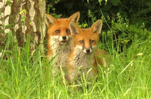 Fox cub and vixen.