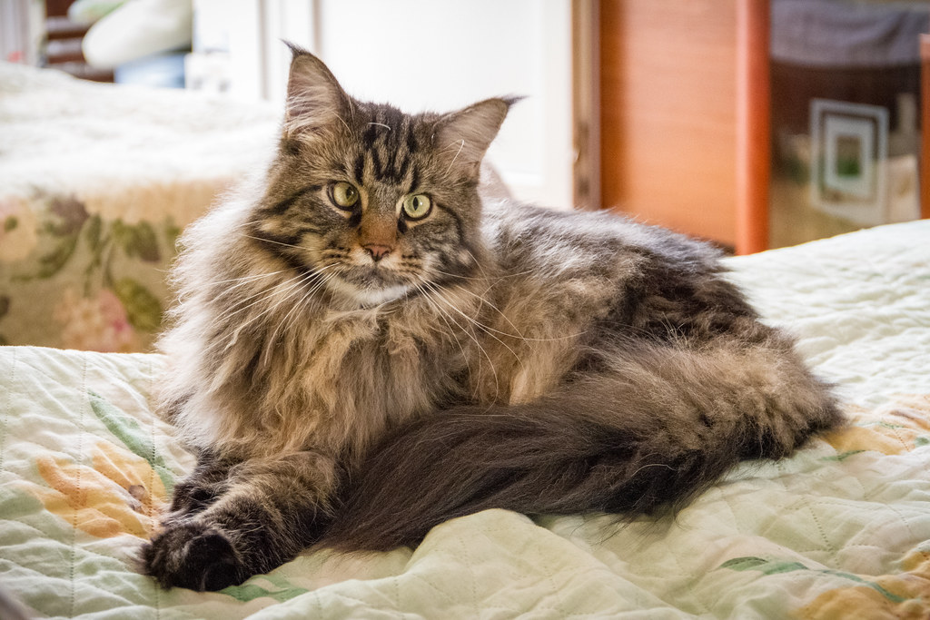 Orchid (Maine Coon)