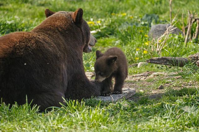 Black Bear_6175_05-15-17_MN_resized