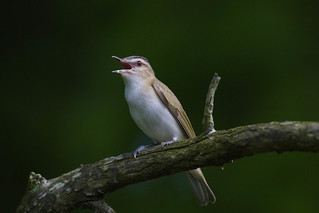 Red Eyed Vireo - Vireo olivaceus | by CooperativeVerse