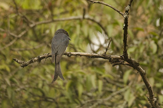 White-bellied drongo | by as_kannan
