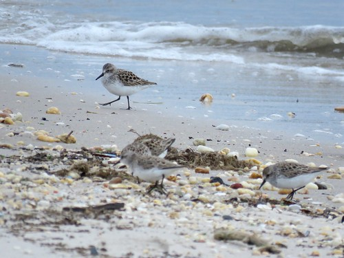 Semipalmated Sandpipers | by Justin Lee (NoNameKey)