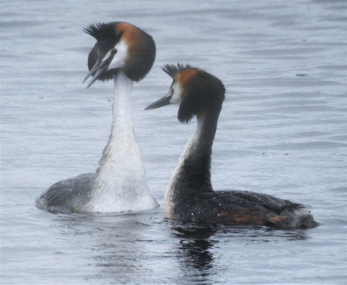 Pair of Great Crested Grebes | by Gilli8888