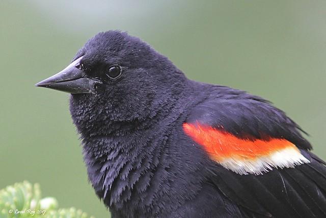 1.30150 Carouge à épaulettes (mâle) / Agelaius phoeniceus phoeniceus / Red-winged Blackbird (male)