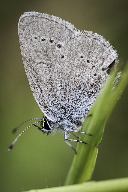 Small Blue (Cupido minimus)