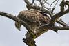 Tawny Eagle (Aquila rapax) Lake Naivasha, Kenya 2013 by Ricardo Bitran