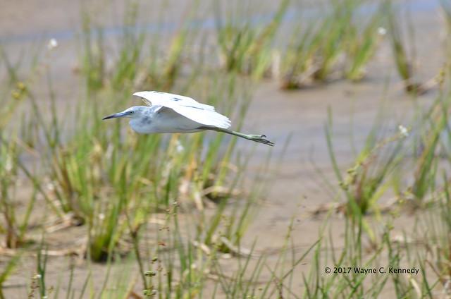 Juvenile Little Blue Heron in flight