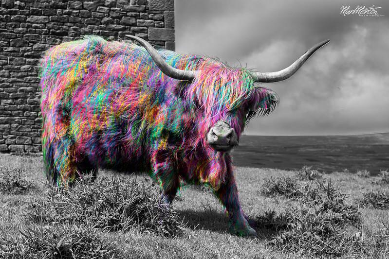 Cow Pop!