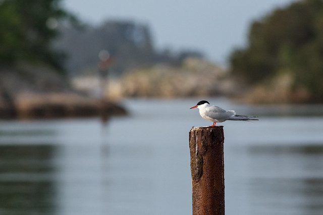 Common tern in its proper environment