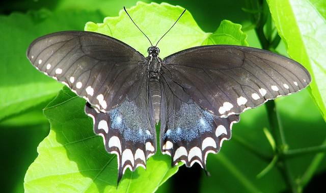 Papilio troilus --  Spicebush Swallowtail Butterfly 3019