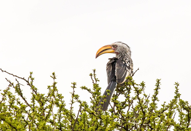 Southern yellow-billed hornbill (Tockus leucomelas)  in Entabeni, South Africa