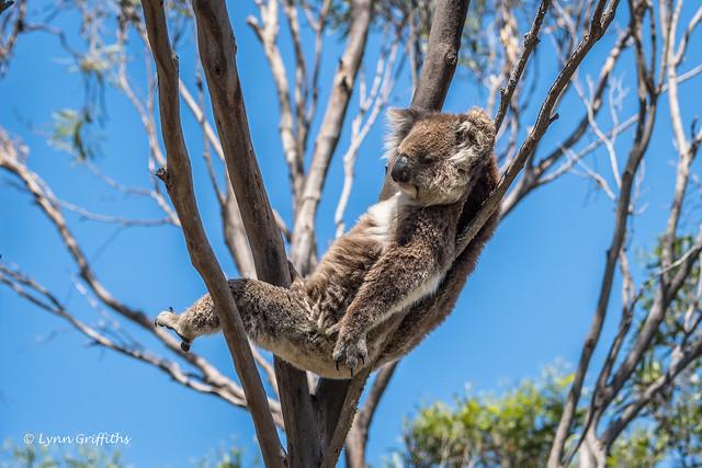 Koala sitting comfortably D50_6211.jpg