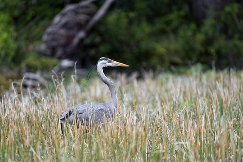 Heron in the high grass | by Tambako the Jaguar