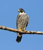 Peregrine falcon by canuck4everr