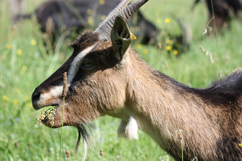 goats_orchard09
