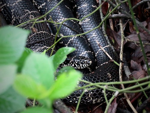 Eastern Kingsnake | by Justin Lee (NoNameKey)