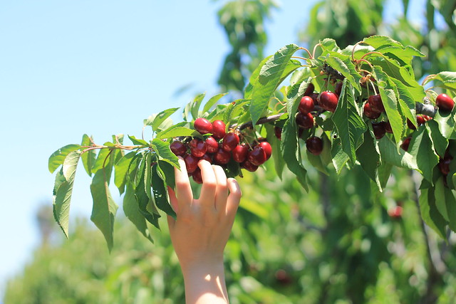 Cherry-Picking @ Brentwood (5.28.17)