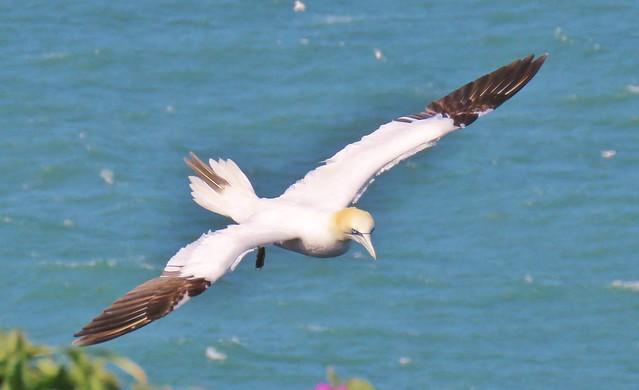 Gannet in flight at RSPB Bempton Cliffs