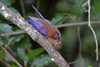 Purple Grenadier (Uraeginthus ianthinogaster) Nairobi National Park, Kenya 2013