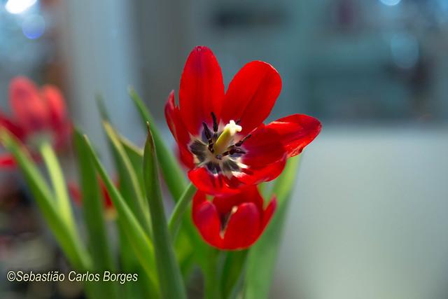 Tulipa (Tulipa hybrida)
