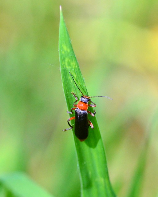 Cantharis Thoracica Cantharidae soldier_beetle ?