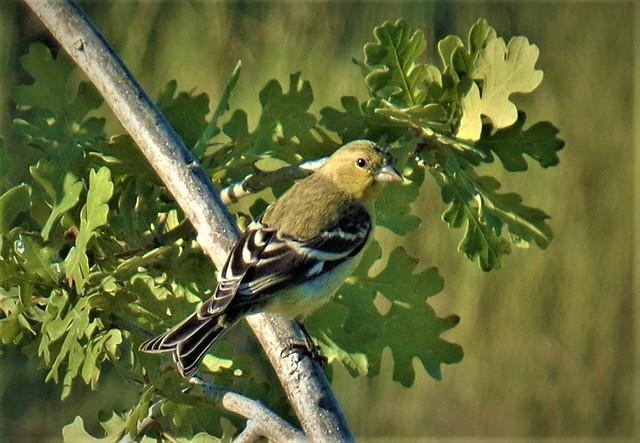 Female Lesser Goldfinch in an Oak. Davis, Ca., June 2017.