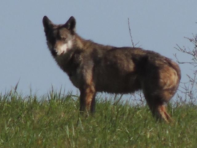 lupo murgiano