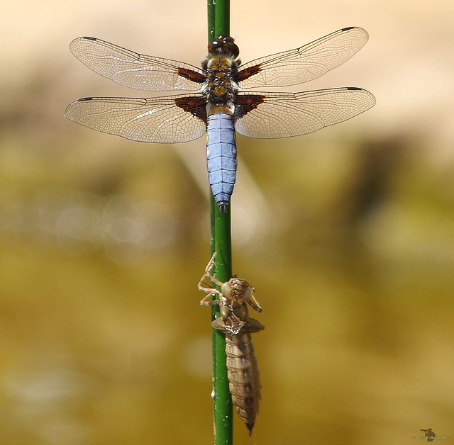 broad body chaser dragon fly male