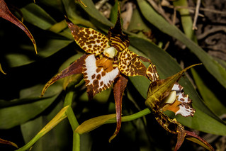 Odontoglossum cordatum (Orchidee) | by Markus Branse